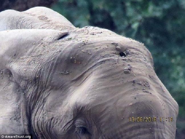 Стойкий слон пришел за помощью к людям