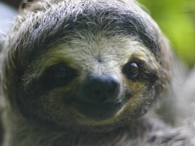 Ленивцы имеют замедленный метаболизм