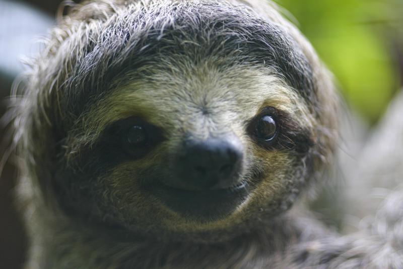 Ученые: ленивцы на самом деле не ленивы