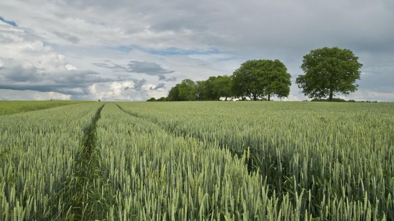 Зерновым культурам засуха нипочем