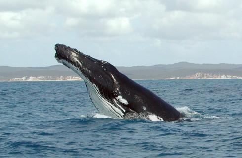 Горбатые киты защищают других животных