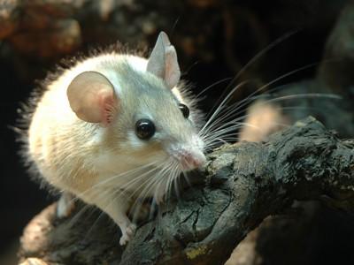 Жидкость-невидимка смогла растворить  мышь