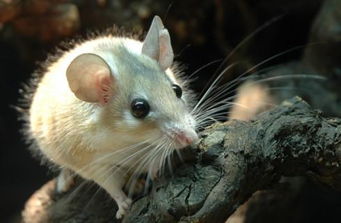 Немцы создали мышь-невидимку