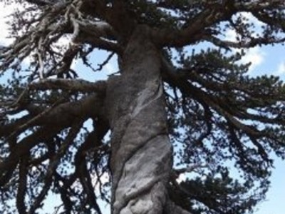 Старейшее дерево Адонис