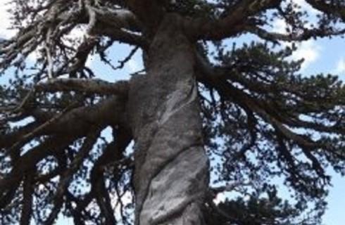 Старейшее дерево Европы не скрылось от ученых
