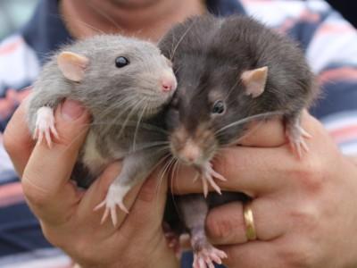 Шнобелевская премия за штаны для крыс