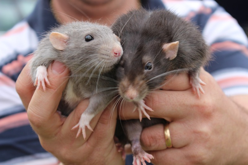Шнобеля вручили за штаны для крыс