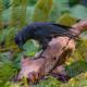 Гавайские вороны чрезвычайно похожи на людей