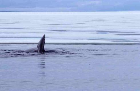 Странный звук в Арктике распугал рыб и животных