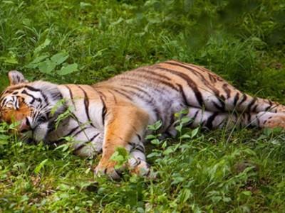 Тигр Влад