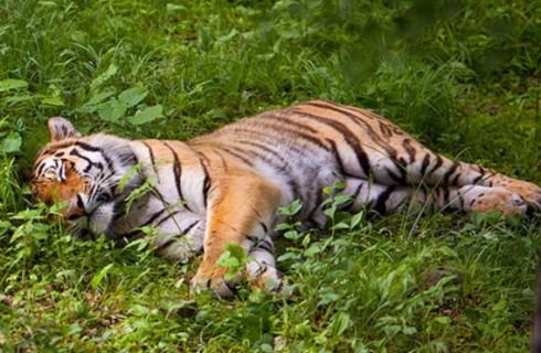 Владивостокского городского тигра назвали Владом