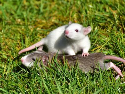 Крысы боятся щекотки