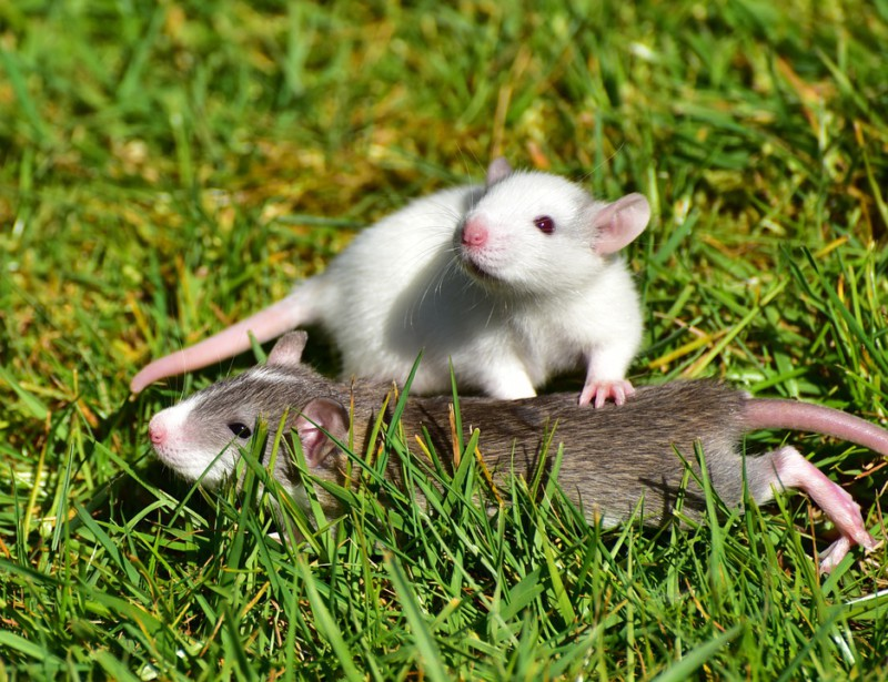 Крысы любят щекотку
