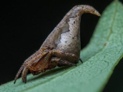 Eriovixia gryffindori