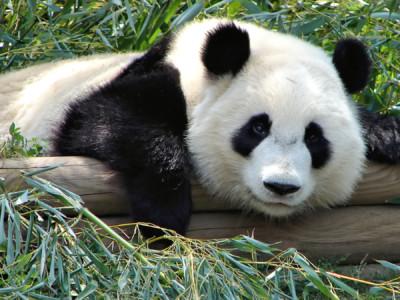 Экологические победы 2016: Панда