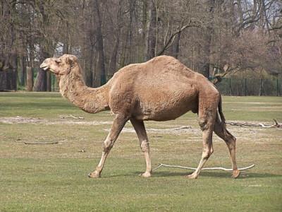 Лекарство от рака помогут создать верблюды