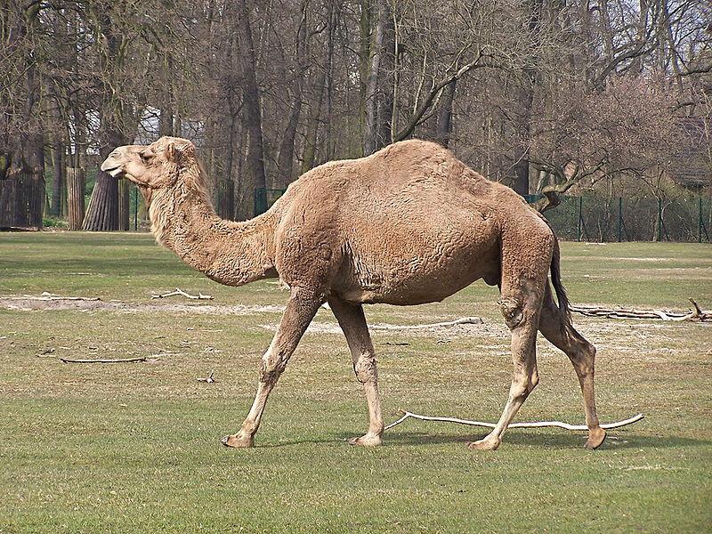 Верблюды помогли создать лекарство от рака