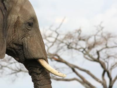 Запрет на продажу слоновой кости ввели в Китае