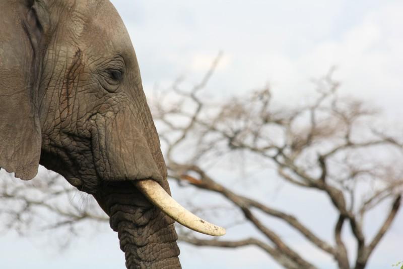Китай запрещает продажу слоновой кости