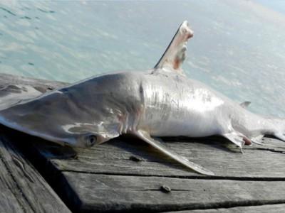 Новая акула-молот