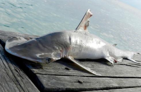 Нашлась новая акула-молот