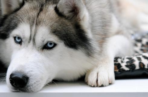 Хаски в Китае устроил побег собак