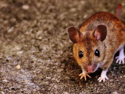 Голодание продлевает жизнь мышей