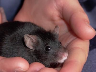 Центр влюбленности  есть в мозгу мышей