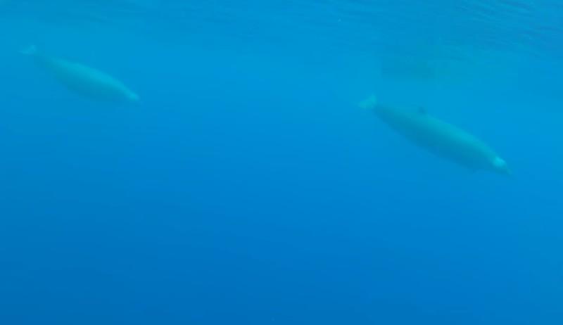 Редкий зубчатый кит попал в объективы видеокамер