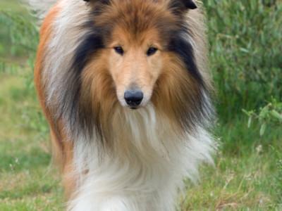 Собака для одиноких людей — колли