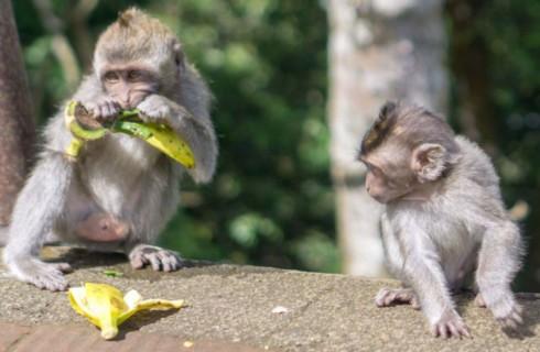 Обезьяны обманывают туристов на Бали