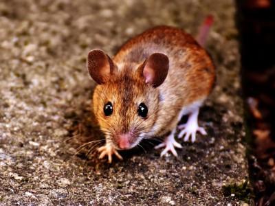 3D органы в теле мыши
