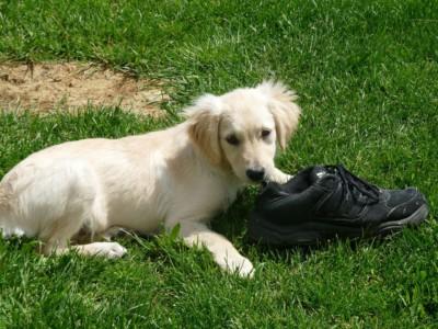Собака грызет шнурки