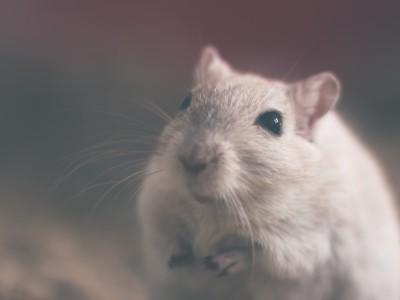 Фермент памяти тестировали на мышах