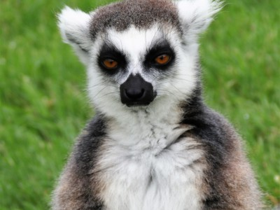 Лемур с Мадагаскара