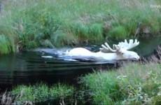 Редкие лоси нашлись в Швеции