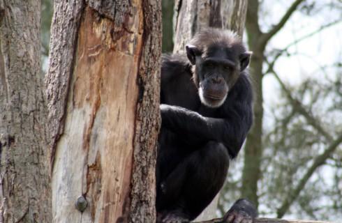 Шимпанзе любят передразнивать людей