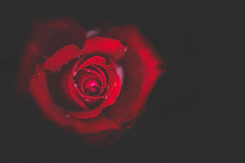 Как правильно сделать розовую воду из лепестков роз