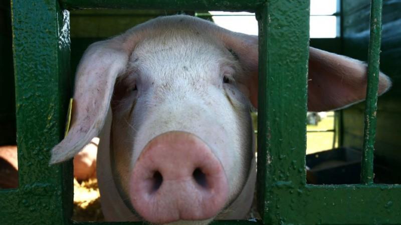 Свиней избавят от жира