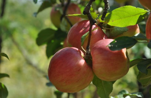 Топ-8 невероятных преимуществ яблок