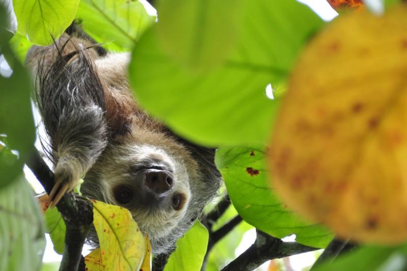 Десять важных фактов о ленивцах, которые вы не знали