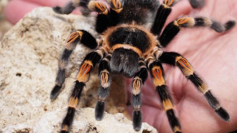 10 фактов о загадочных тарантулах