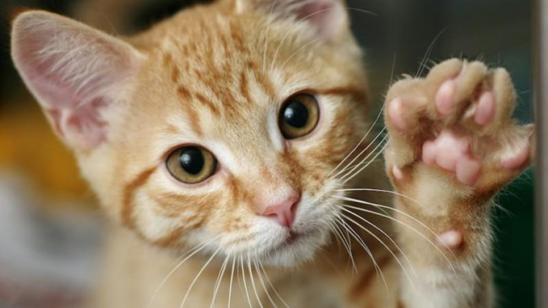 Ваша кошка — левша?