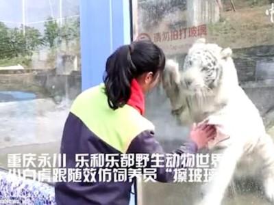 Белый тигр чистит стекло