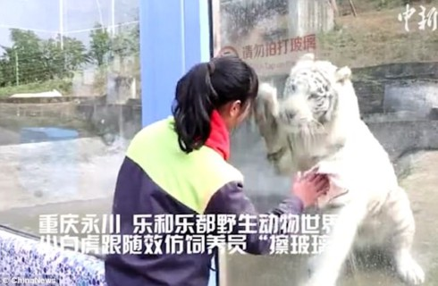 Белый тигр научился чистить стекло