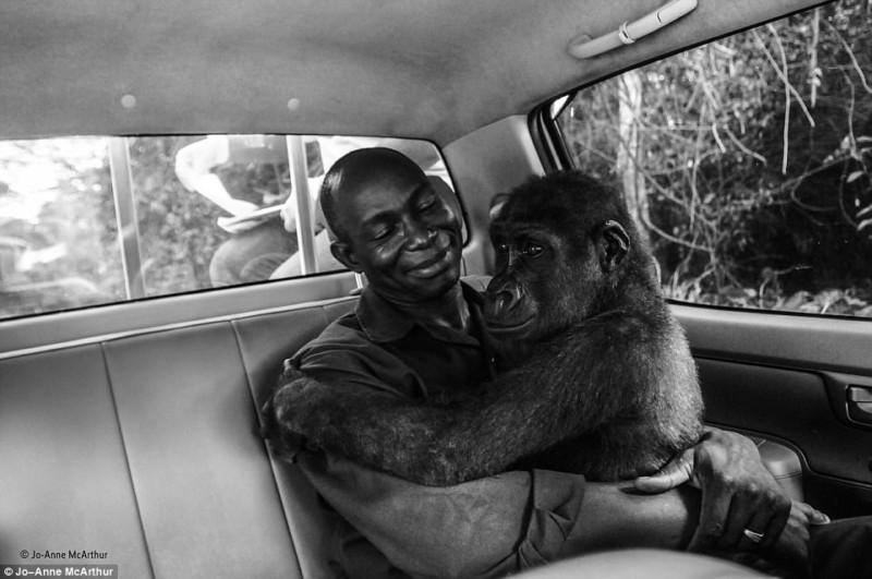 Маленькая спасенная горилла помогла фотографу завоевать важную премию