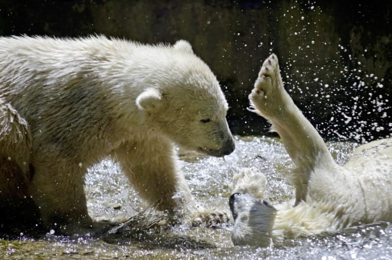 Лучшие 10 фактов о белых медведях