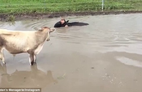 Австралиец проявил чудеса человечности по отношению к корове