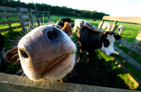Топ-10 неожиданных фактов о коровах