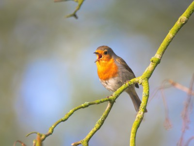 Поющая птицы